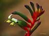Rainbow Kangaroo Paw 1 - Lavender Farm, Maui (Barra1man (Back From Vacation)) Tags: flower macro nature garden hawaii rainbow iso400 lavender maui tropical kula tropicalflower upcountry kangaroopaw lavenderfarm kangaroopaws olympuse620 f5612000 lens2020mm