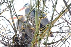 Nesting Great Blue Herons (Aurora Santiago Photography) Tags: greatblueheron nesting