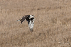 Prairie Falcon flyby sequence - 2 of 8