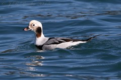 "Long-tailed Duck, J.Pender • <a style=""font-size:0.8em;"" href=""http://www.flickr.com/photos/30837261@N07/16719358027/"" target=""_blank"">View on Flickr</a>"