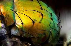 Dolichopodid fly (Jbdorey) Tags: macro nature james fly focus australian brisbane stack qld microscope diptera photomicrography dolichopodid dorey jbdorey