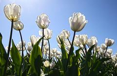 Spring is early this year (Team Hymas) Tags: sun white holland bulb woodland washington tulips farm american