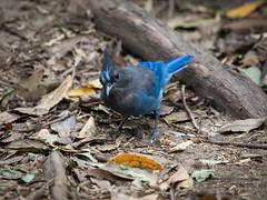 blauer Vogel Diademhher (gartenzaun2009) Tags: amerika vogel diademhher