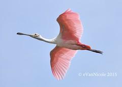 Roseate Spoonbill (eVanNicole Photos) Tags: florida birding central ibis lakeland roseatespoonbill circleb circlebbarreserve