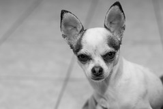 Angry Dog (michael.pathmann) Tags: bw pet dogs nikon funny attitude angry mean greyscale d300 d300s