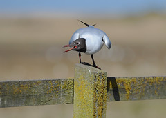 Black-headed Gull DSC_6420 (wildlifelynn) Tags: urban bird beach rural coast adult bokeh gull sandy norfolk shingle lakes insects farmland seeds coastal rivers perched calling inland ponds earthworms mudflats alert larusridibundus harbours salthouse estuaries displaying gravelpits blackheadedgull rockyshores watchful sociable posturing reservoirs flyinginsects marineworms nestingcolonies brownfieldsites winterflocks communalroosts
