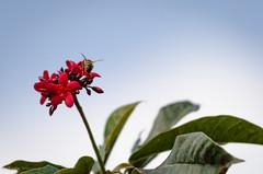 _DSC1504.jpg (Austin Whisnant) Tags: flower macro leaves animal closeup insect lens nikon zoom wildlife minimal bee telephoto honey d7000 austinwhisnant austinwhisnantphotography