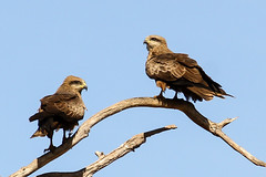 Black Kites (CampaspeBirdo) Tags: kite black pine creek australianbirds 128