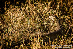 Monitor Lizard In The Okavango Delta, Botswana