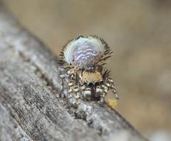 _X8A9255 (1) undescribed species of peacock spider (Maratus sp.) (Jurgen Otto) Tags:
