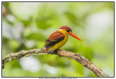 Rufous-backed Kingfisher  (lamkokho) Tags: wild bird nikon wildlife malaysia kingfisher rufousbacked