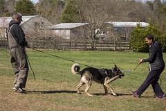 spring hh (car2ner) Tags: dog dogs sport training outdoor maryland canine bite wag doberman obedience germanshepherd protection ipo k9 dogtraining schutzhund dogsport washingtondcareagebrauchshundclub