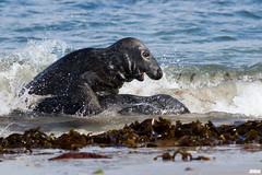 foreplay - Kegelrobbe, Halichoerus grypus, grey seal @ Helgoland, Heligoland in April 2016 (Jan Rillich) Tags: sea sun nature beautiful beauty animal sex fauna digital canon photography eos grey photo spring flora foto fotografie image jan wildlife foreplay picture free sunny insel seal april northern nordsee sandstein robbe dne vorspiel frhling halichoerusgrypus grayseal greyseal helgoland animalsex 2016 animalphotography buntsandstein seerobbe heligoland kegelrobbe hochseeinsel halichoerus grypus hundsrobbe janrillich rillich
