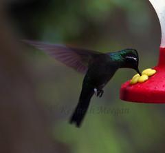 Inflight Refueling (Ken Meegan) Tags: bird costarica hummingbird monteverdecloudforest inflightrefueling 12102008