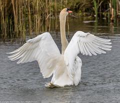 9Q6A0966 (2) (Alinbidford) Tags: swan muteswan greylaggoose whitethroat brandonmarsh alancurtis alinbidford