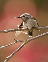 Anna's hummingbird, female (Through The Big Lens) Tags: canada bird nature birds vancouver nikon bc hawk britishcolumbia wildlife birding flight delta aves raptor owl boundarybay lowermainland birdphotography wildlifephotography simonrichards throughthebiglens