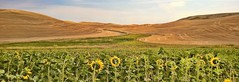 YOU MAKE ME HAPPY WHEN SKIES ARE GRAY (Irene2727) Tags: flowers sky panorama green nature yellow clouds wow landscape pano grain hills sunflowers washingtonstate scape palouse