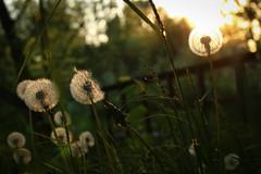 Evening walk (linda.richtersz) Tags: light evening spring dandelion canoneos100d 50mmlensf14