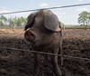 (Jeroen Hillenga) Tags: pig varken zwijn