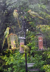 Dirty Parakeets after 1 inch of rain fell this morning  (3) (John Carson Essex R.I.P. John and thank you for be) Tags: thegalaxy supersix rainbowofnature thegalaxystars