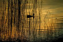 Banyoles pond-7 (dACE :)) Tags: espaa water birds animals architecture backlight contraluz duck pond spain arquitectura agua catalonia girona pjaros estanque animales catalunya silueta es aigua catalua gerona patos contrallum ocells banyoles espanya estany tarda baolas anecs