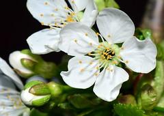 Cherries in Blooming (Terje Hheim (thaheim)) Tags: flowers nature cherry cherries nikon berries blooming sprin d7100 85mmf35gmicrovr nikond7100