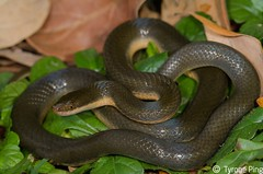 Lycondonmorphus rufulus -  Brown Water Snake (Tyrone Ping) Tags: africa wild brown nature water field snake wildlife south cape non eastern reptiles herps hogsback venomous herping rufulus lycondonmorphus httpwwwtyronepingcozasnakeslycondonmorphusrufulus