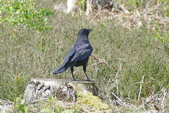 Raven (murrayN) Tags: uk bird britain surrey raven corvid rspb corvuscorax farnhamheath