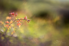 Simplicity (Inspiring Nature Photography) Tags: light nature golden spring bokeh m42 autochinonmacromcm55mm