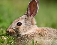 Friendly backyard visitor. (KWinters Photography) Tags: macro rabbit bunny green nature colors grass animal closeup fur nikon colorado outdoor sigma nikondigital hase springtime bunnie flickrnature d5500 cmwd cmwdgreen nikondsl sigma150600mm