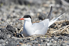 Visdiefje-Common Tern (Sterna hirundo) (Bram Reinders(on-off)) Tags: sea holland bird nature nikon wildlife bram nederland thenetherlands natuur waterbird zee groningen tamron vogel commontern sternahirundo visdiefje farmsum reinders watervogel nikond600 150600 bramreinders wwwbramreindersnl nieuwsgierigheidisdebronvanallekennis curiosityisthesourceofallknowledge tamron150600 tamronsp150600mmf563divcusd bramreindersfarmsum