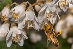Bee at work (Karibu kwangu) Tags: flower bee ape pollen fiori polline