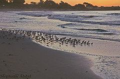 Birds Running into the Waves at Pebble Beach (cleverfoxphotography) Tags: ocean california sunset west beach water birds coast waves flock pebble