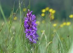 Welche Orchidee? , NGIDn1032477329 (naturgucker.de) Tags: mritznationalpark naturguckerde carmindreisbach ngidn1032477329
