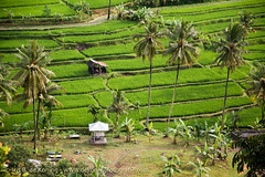Bali, Indonesia (IRIS DE KONING PHOTOGRAPHY) Tags: travel flowers people bali beach forest indonesia island temple monkey volcano asia rice lotus south religion goa culture lot east sacred uluwatu lawah tirta empul ricefields hindi nusa sacrifice ubud kuta batur barong denpasar tanah sanur visnu penida bhrama angun sacriface lembonang