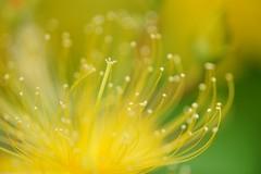 ()/Hypericum chinense var. salicifolium (nobuflickr) Tags: flower nature japan kyoto     awesomeblossoms hypericumchinensevarsalicifolium  kamogawariverhananokairou 20160604dsc01624