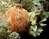 sea lemon and eggsies (richie rocket) Tags: dorset glug tango underwater blackhawk wreck sealemon archidorispseudoargus