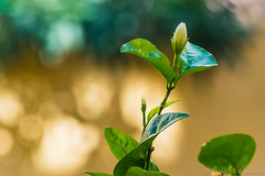 Nature - The Teacher (Kumaravel) Tags: india flower green nature closeup leaf nikon colorful dof blossom bokeh jasmine tiny crop delicate chennai tender kumar kumaravel hbw d3100  malligaipoo