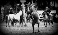 Calixto Clavijo (Eduardo Amorim) Tags: gacho gachos gaucho gauchos cavalos caballos horses chevaux cavalli pferde caballo horse cheval cavallo pferd crioulo criollo crioulos criollos cavalocrioulo cavaloscrioulos caballocriollo caballoscriollos pampa campanha fronteira dompedrito riograndedosul brsil brasil sudamrica sdamerika suramrica amricadosul southamerica amriquedusud americameridionale amricadelsur americadelsud cavalo         hst hest hevonen  brazil eduardoamorim jineteada gineteada