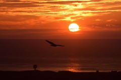 Last flight (monty689) Tags: red orange silhouette evening flying twilight dusk buzzard refelction anglesey