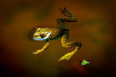 under cover frog (m_hamad) Tags: park summer usa nature water beauty canon dc photos farm wildlife frog explore frogs nationalgeographic greatnature naturebeauty supershot ultimateshot dazzlingshot 7dmkii blinkagain