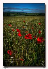 Poppies 2 (jeremy willcocks) Tags: uk red colour field landscape wheat hills devon poppies veiw southhams jeremywillcocks fujix100t wwwsouthwestscenesmeuk
