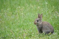 1. Rabbit at ease (Ineke Klaassen) Tags: wild pet rabbit nature field animal animals garden landscape tiere rust konijn outdoor natur natuur animales rabbits tuin veld dieren animalplanet konijnen tierfoto atease rustig inthewild dierenfotografie nationalgeographicwildlife dierenfoto dierenfotos