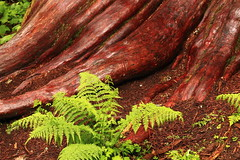 Exposed Cedar Roots and Fern (Steve Boer) Tags: red fern tree green forest ancient bc britishcolumbia roots cedar ancientforest
