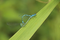 Common Blue Damselfy Mating (Tony Howsham) Tags: blue eos pair sigma mating common damselfy 70d 18250