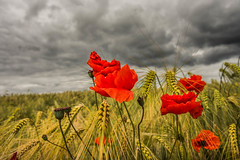 Moody (Ian C Sanderson) Tags: sky nature field clouds skies farm wildlife poppy poppies hdr