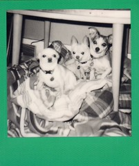 Clarkdale Chihuahua Club members (EllenJo) Tags: colorframe polaroid 600 polaroid600 impossibleproject theimpossibleproject blackandwhite bw august12 2016 ellenjo august instantfilm polaroidjobpro simon hazel floyd chihuahua chiweenie dogbed underthetable cute