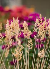 Simple says it best. Summer! (d.cobb56) Tags: flowers summer nature garden dof bokeh hues simple