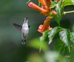 Hummingbird 7_25 3 (krisinct- Thanks for 12 Million views!) Tags: nikon d500 500 f4 vr g