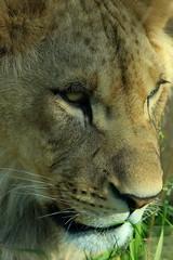 Parc zoologique de Vincennes 03.05.2016 0J5A6614 (MUMU.09) Tags: france parczoologiquedevincennes030520160j5a7699 canoneos7dmarkii 100400mm vincennes animal flin lion felidae pantherinae panthera pantheraleopolpi mumu09 macro portrait